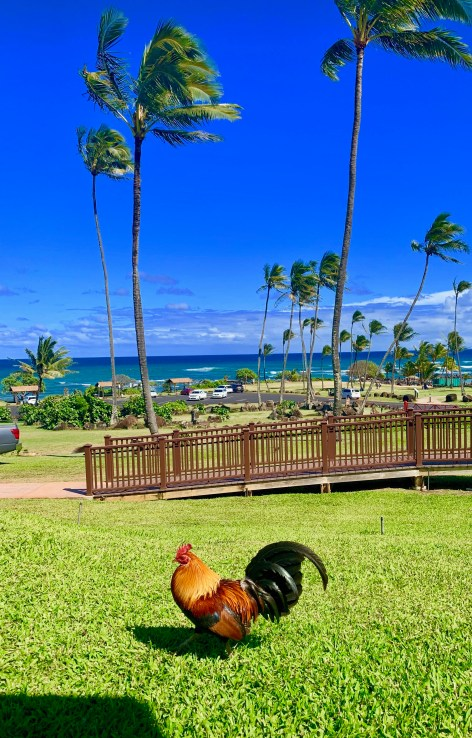 roosters, kauai, palm trees, hilton garden inn wailua bay, beaches, hawaii