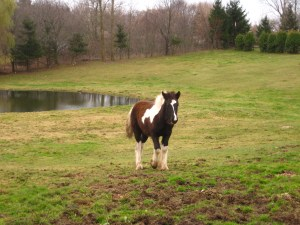 horse at the apple farm