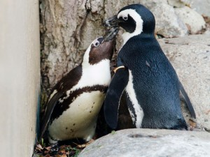 African penguins Pedro and Buddy interact with each other at the Toronto Zoo