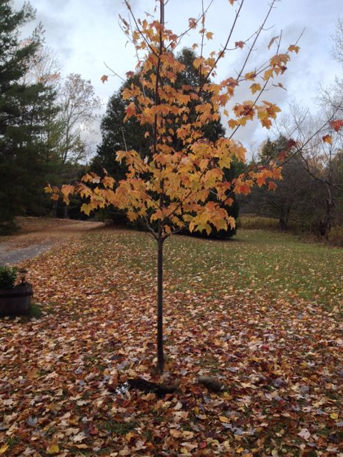 young sugar maple