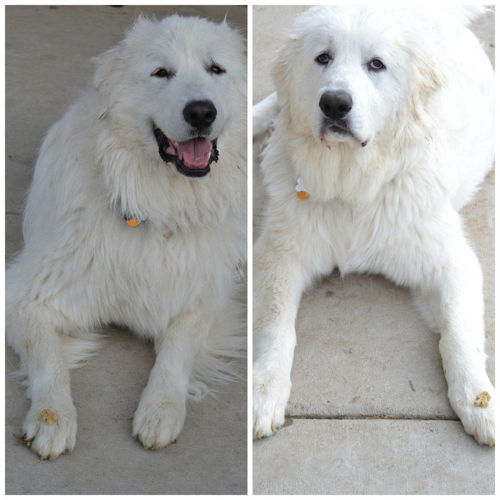 Mauja (left) and Atka (right) showing off their 'leave it' with their Buddy Biscuit!