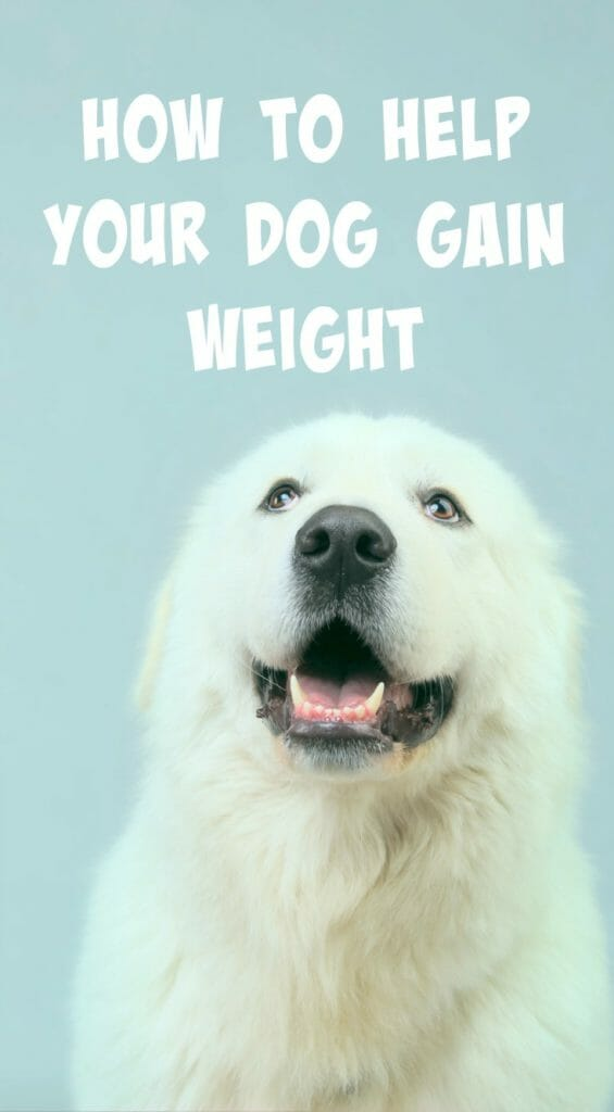 Is your dog underweight? Whether your dog is a picky eater or didn't get the best start to life, here are a few tips to help your dog gain weight.