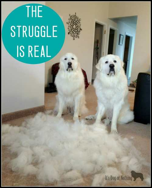 Great Pyrenees Blowing Coats
