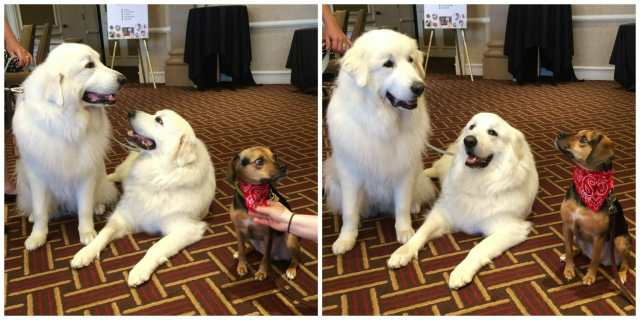 """These are probably my favorite pictures. Luna from Beagles and Bargains is looking at her mom like, """"you seriously want me to sit next to THEM?!"""""""