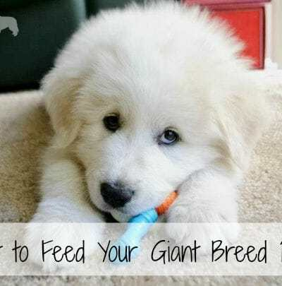 What To Feed Your Giant Breed Puppy