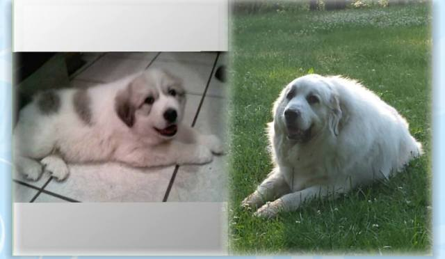 How badger marks change on Great Pyrenees