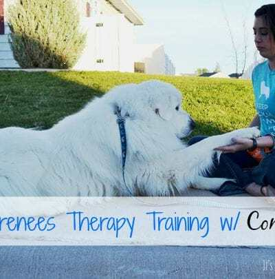 Great Pyrenees Therapy Training with VetriScience Composure