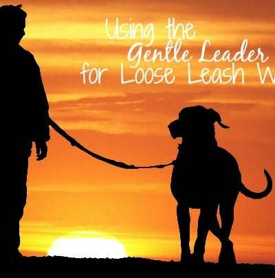 Using a Gentle Leader for Loose Leash Walking