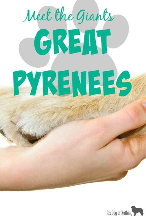 """Our first """"Meet the Giants"""" post is about Great Pyrenees. Check back weekly for information about other giant breeds!"""