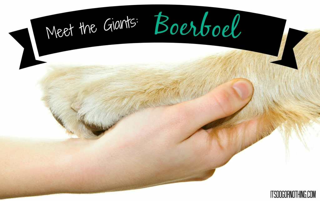 This week on Meet the Giants, we're talking about the Boerboel! Read more for tons of fabulous breed information!