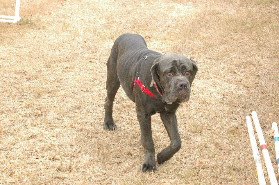 This week on Meet the Giants, we're talking about the Neapolitan Mastiff! Read more for tons of fabulous breed information!