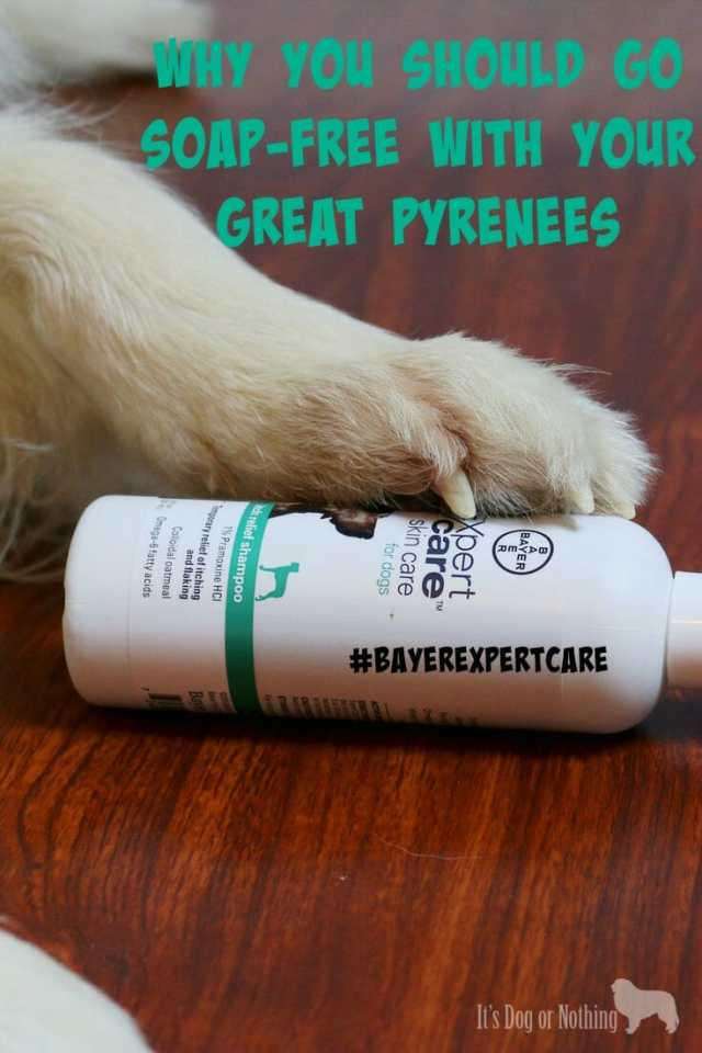 Why you should consider soap-free shampoo for your Great Pyrenees.
