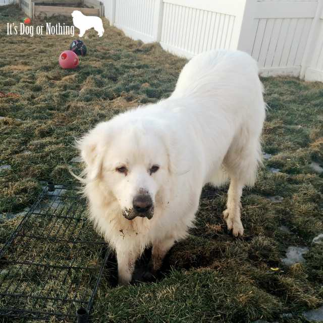 You might have a Great Pyrenees if you twisted your ankle from a pyr crater.
