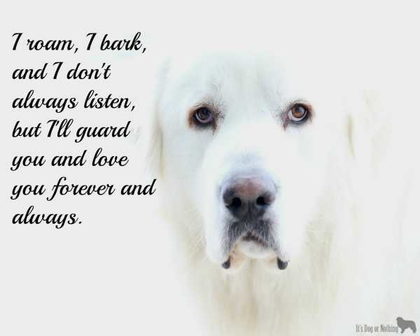 A true Great Pyrenees <3