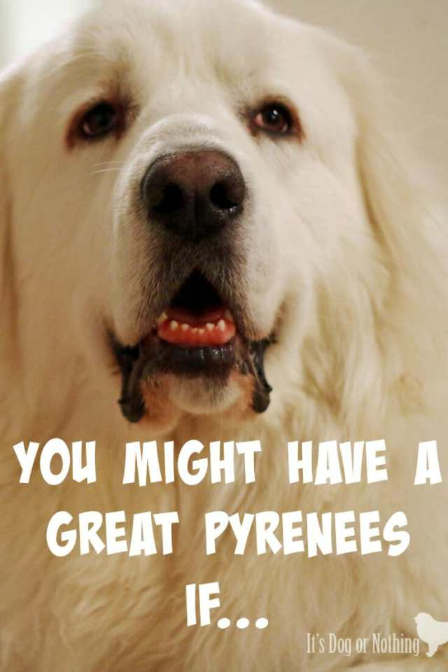 You might have a Great Pyrenees if...