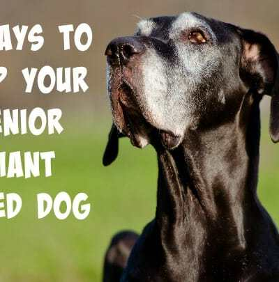 5 Ways to Help Your Senior Giant Breed Dog