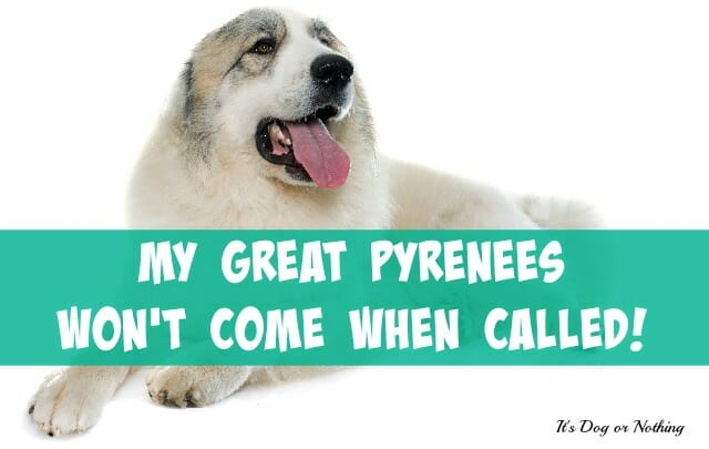 Does your Great Pyrenees fail to come when called? You're not alone. While you'll probably never have a 100% reliable recall with your pyr, there is another way to ensure your dog stays safe.