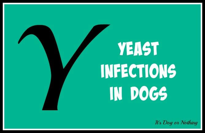 When it comes to giant breed health and nutrition, there's a lot that goes into raising a happy, healthy dog. We're going from A to Z talking about giant breed specific needs! Today, it's all about yeast infections in dogs, specifically their ears.