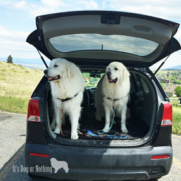 Great Pyrenees on a road trip