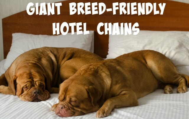 Traveling with giant breed dogs can be difficult, but it doesn't have to be! Here are our top picks for hotel chains that allow dogs of any size to stay for free!