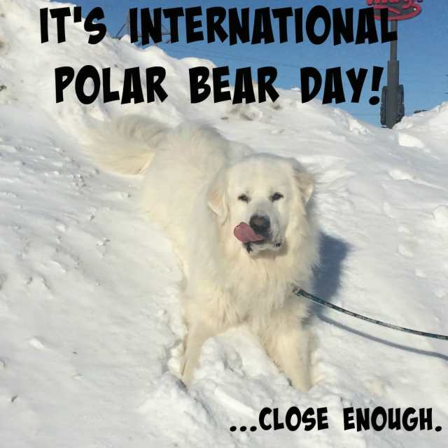 Does your Great Pyrenees think he's a polar bear too? Come celebrate International Polar Bear Day with us to try and help these magnificent animals!