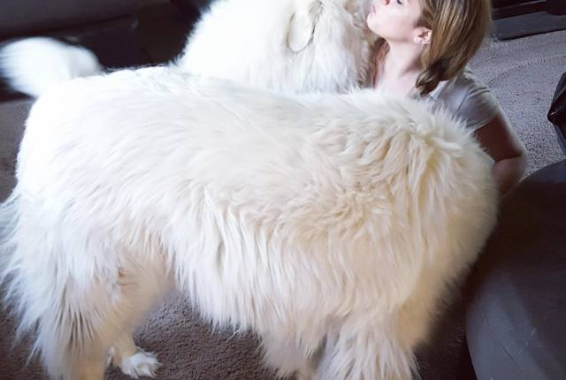 Great Pyrenees   It's Dog or Nothing