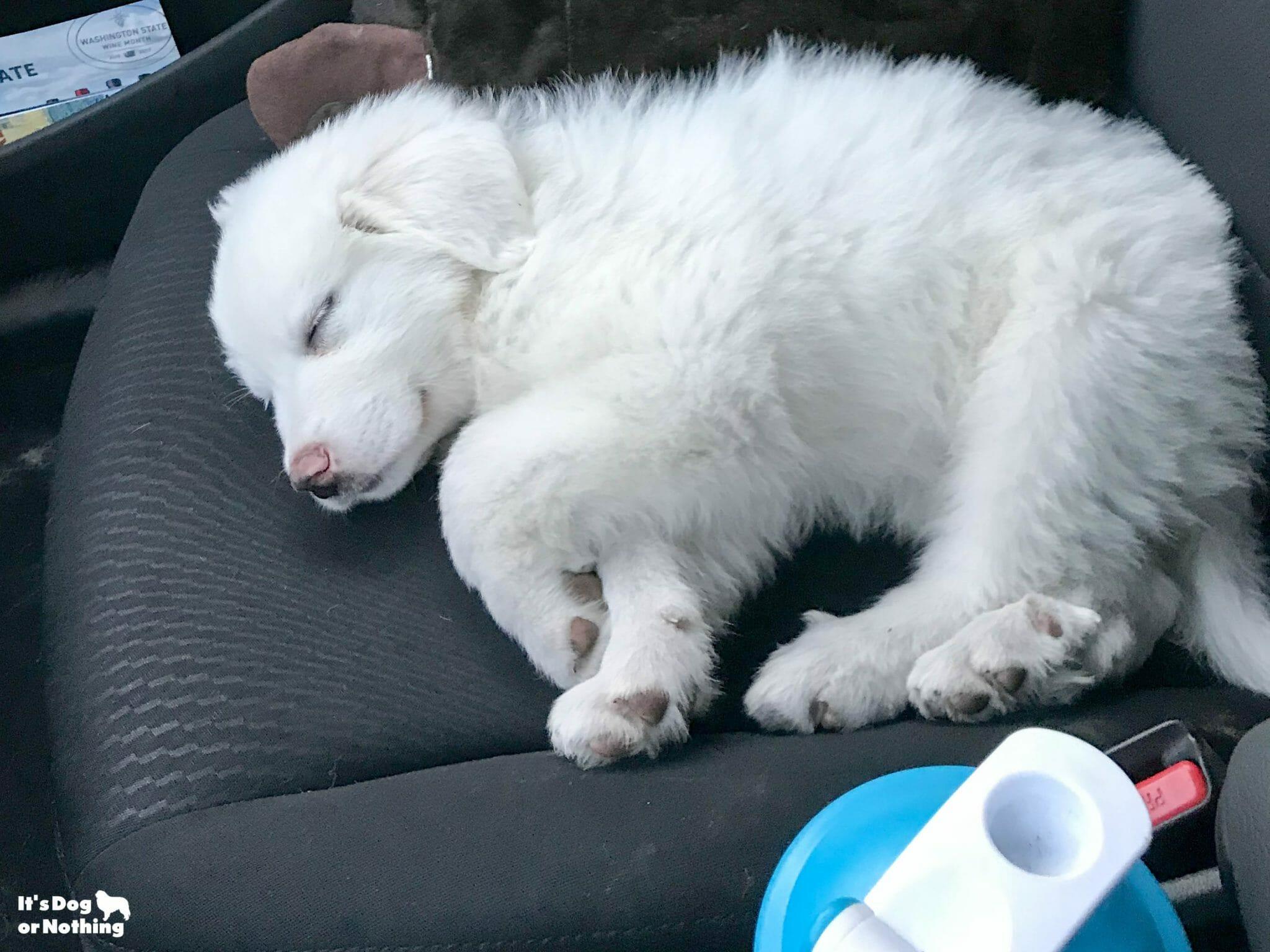 Kiska, our Great Pyrenees puppy, at 8 weeks.