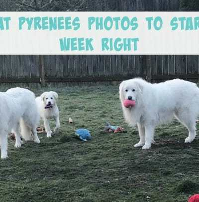 10 Great Pyrenees Photos to Start Your Week Right