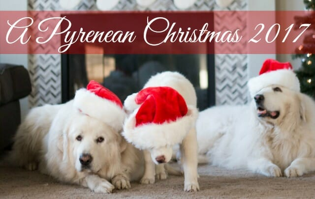 Join us this holiday season by enjoying some beautiful Great Pyrenees Christmas photos.