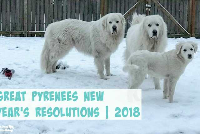 Have you talked to your Great Pyrenees about making New Year's resolutions? I chatted with the fluffies and got their resolutions for 2018.