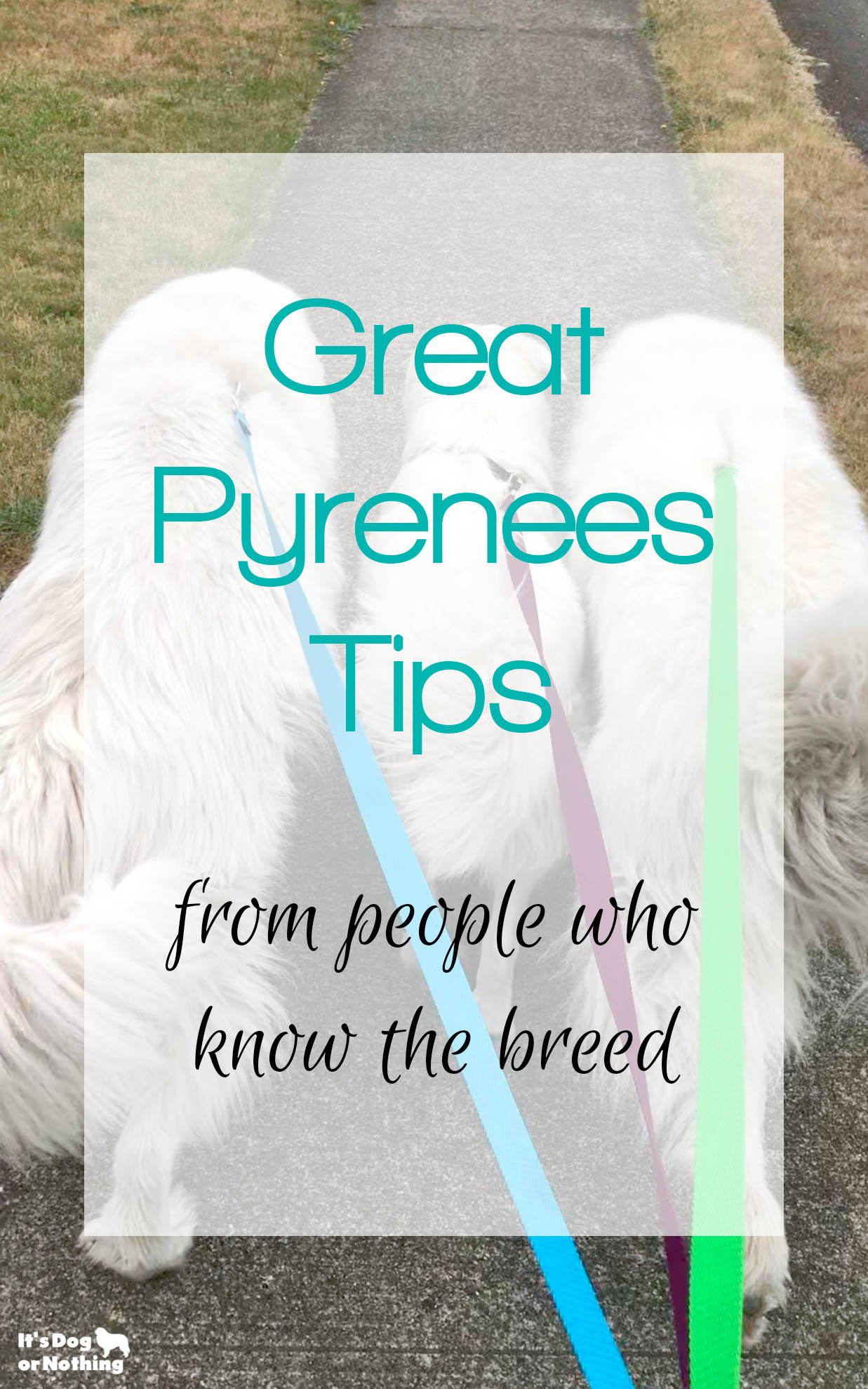 There can be a lot of misinformation about the Great Pyrenees breed out there. We polled thousands of pyr lovers to get their top Great Pyrenees tips.