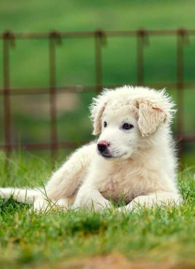 6 Reasons I Support Great Pyrenees Rescue