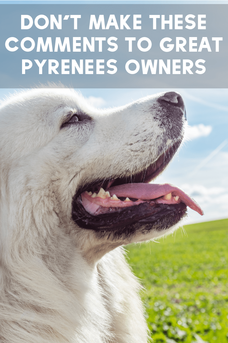 When you walk around with giant white dogs, you hear a lot of uncomfortable comments. What else have you heard about your Great Pyrenees?