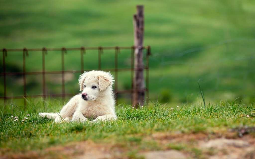 Great Pyrenees rescue is something I've always been passionate about. Here are six reasons I support rescue and the stories behind them.