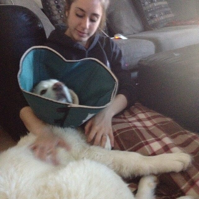 Balto | Great Pyrenees Rescue | It's Dog or Nothing