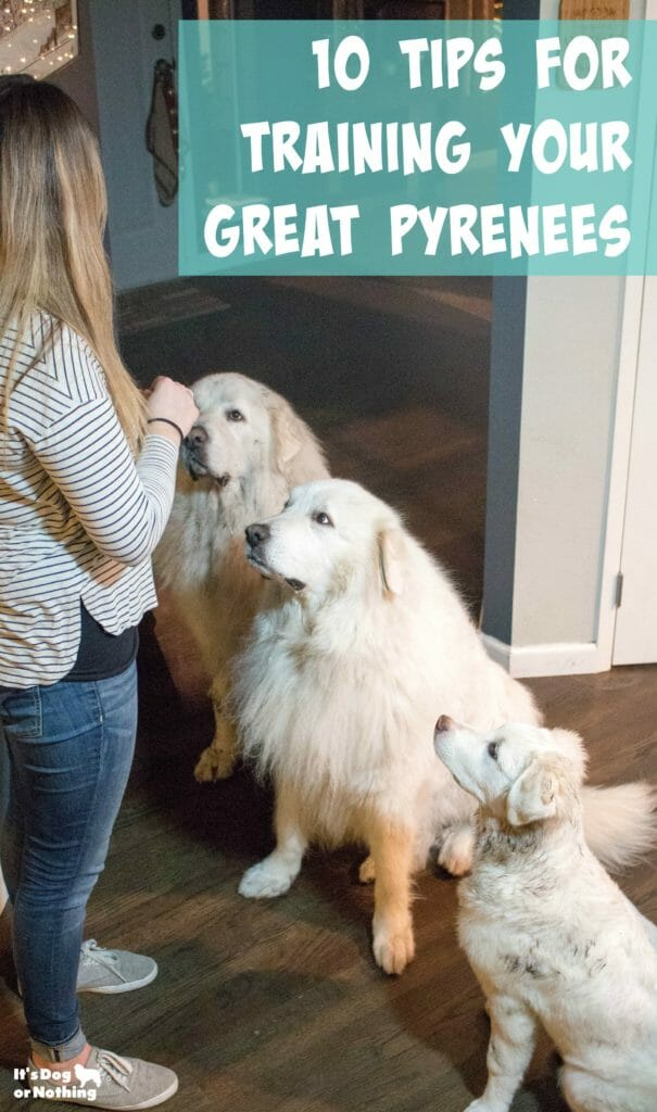 Are you struggling training a Great Pyrenees or just interested in improving your skills? Here are ten tips to train a Great Pyrenees.