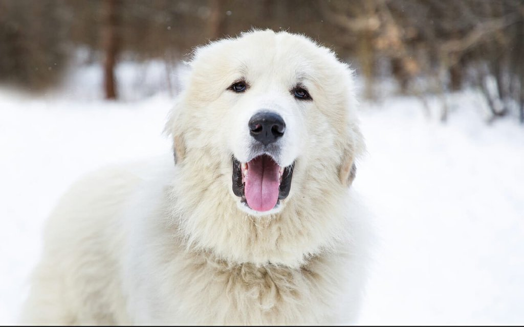 There are so many factors to consider when determining the cost of a Great Pyrenees. Let's break them down.