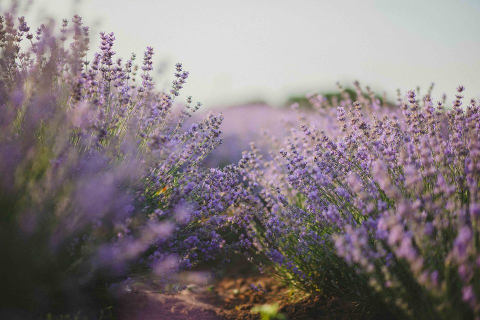pink and purple lavender plants