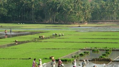 Photo of SIOLIM RICE