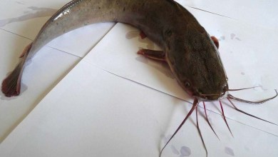 Photo of African catfish invade Goa