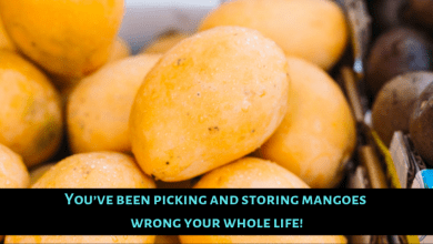 Photo of You've been picking and storing mangoes wrong your whole life!