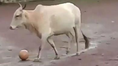 Photo of This is BallGai, Goa's football playing cow from Mardol