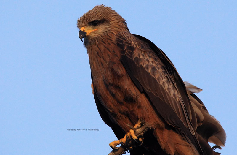 Whistling Kite - Itsmoskey Photography
