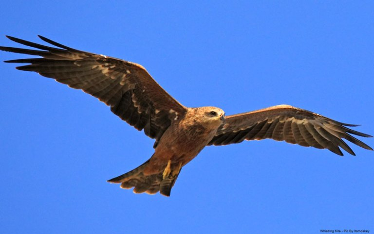 Whistling Kite - Pic by itsmoskey