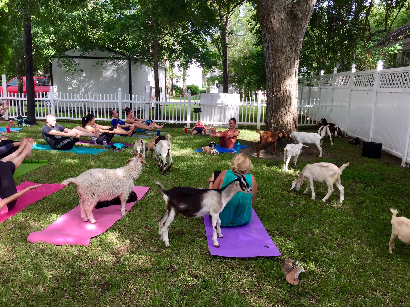 I Survived A Goat Yoga Class It S Not Hou It S Me