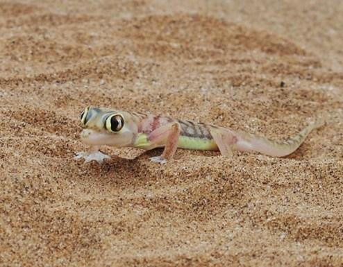 Namib Dune Gecko
