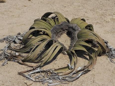 The bizarre Welwitschia tree