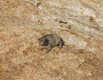 Baby Rock Hyrax
