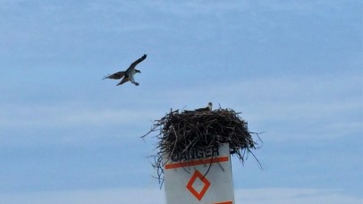 Eagles and nest