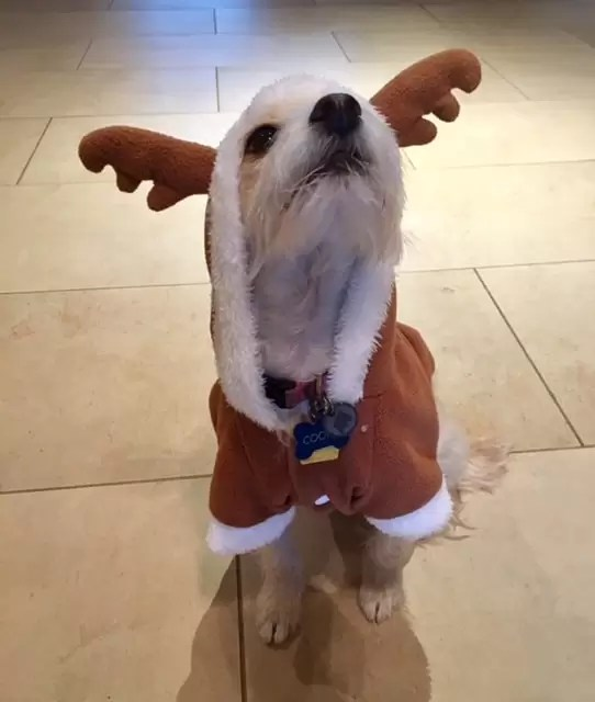 small terrier in a reindeer outfit | apple peanut butter dog treats